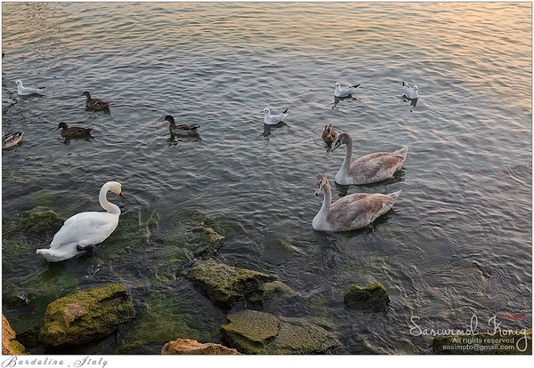 Swans, goose, wild geese, ducks, seagull swimming at Porto di Bardolino harbor