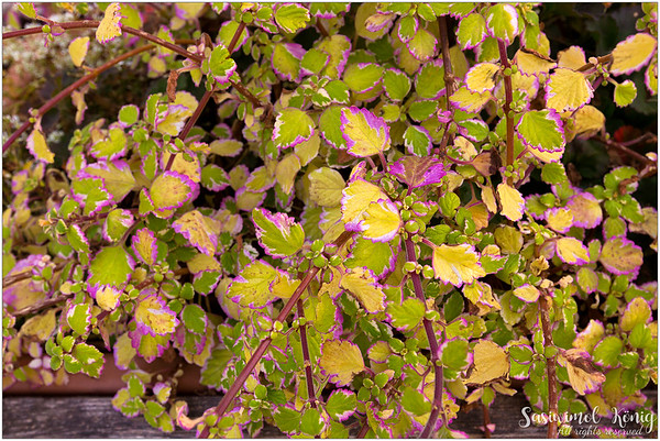 Leaves of Plectranthus Sp.? Solenostemon ? (Coleus)