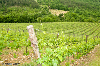 These are the most recently planted grapevines.