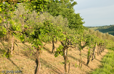 The old vines at i Greppi di Silli