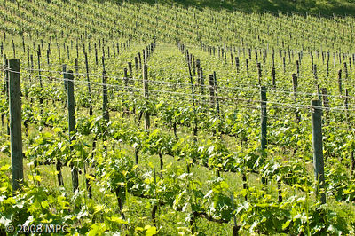 The vineyards of the agriturismo