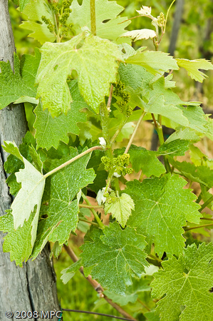 Baby grapes on the newer vines