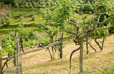 The next series of photos are from our tour of the i Greppi di Silli vineyards.  These are the old vines.