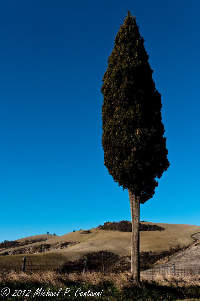 Cypress Tree on the road to Volterra
