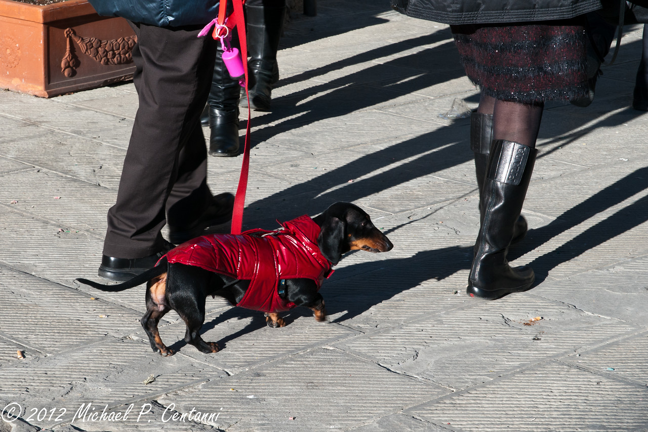 Italian Hot dog out for a stroll on New Years day in Montalcino