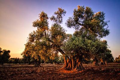 The Olive Tree ~ Italy