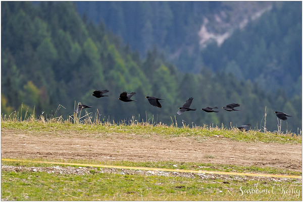 Alpine choughs : Where are you heading to?