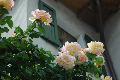 Roses along Via Gardesana, Torri del Benaco
