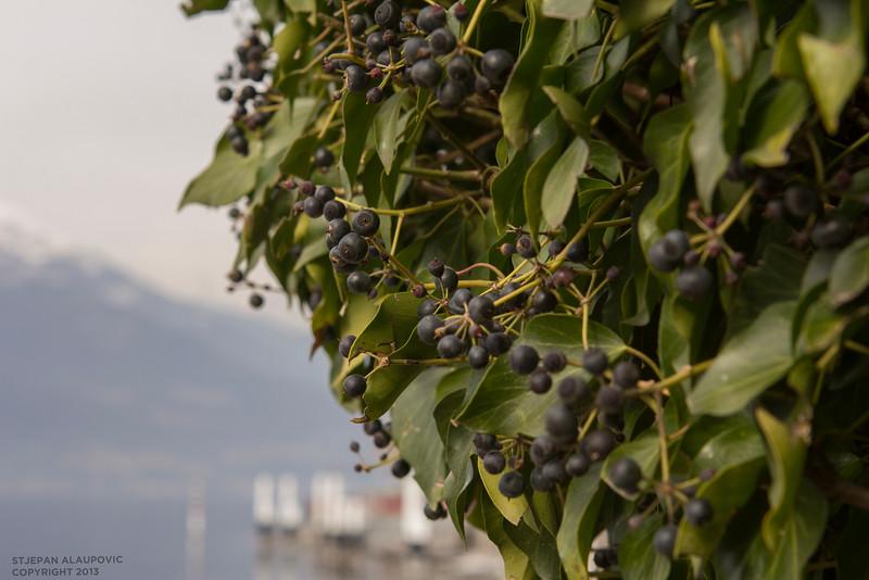 Berry Tree in Varenna