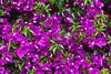 Closeup of purple bougainvillea flowers in the village of Marina della Lobra, Italy.