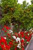 Rose bushes and orange trees along the street in Massa Lubrense, Sorrento, Italy.