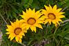 Three sunflowers in Massa Lubrense, Sorrento, Italy.