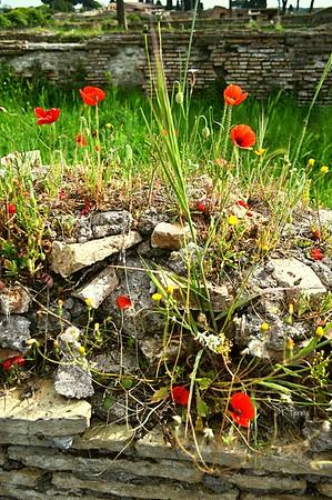 Ruins,Ostia Antica,poppies,flowers,italy,italia,rock wall,