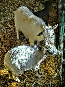 """Goat Love"" - Pescasseroli, Italia"