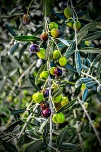 """""""Olive da Poggio Bustone"""" - Italia"""