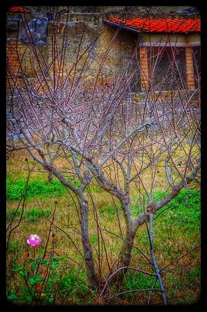 """""""Solitary Rose"""" - Hercolano"""