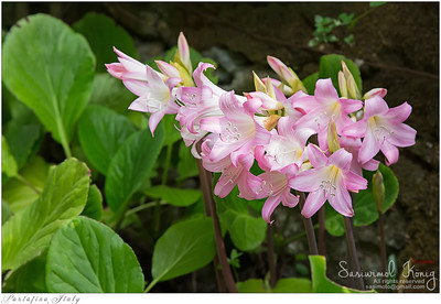 Belladonna Lily (Jersey Lily, Naked Lady Lily, March Lily)