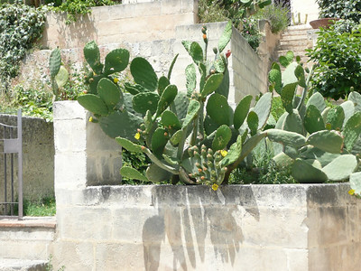 Prickly pear - you see them everywhere