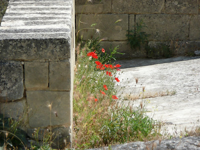Poppies growing wild in Matera