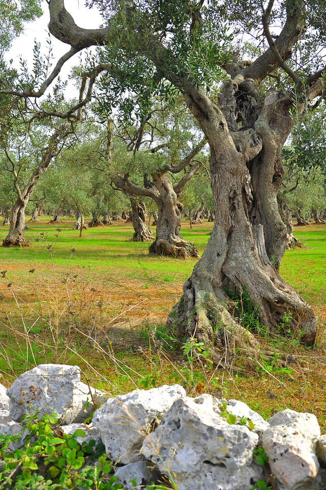 ancient olive trees on the way to Masseria Montelauro