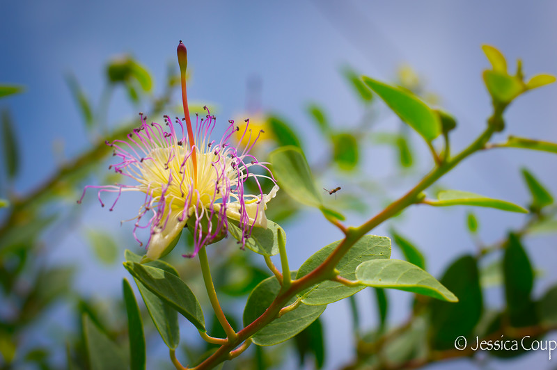 Caper Flower with Bee