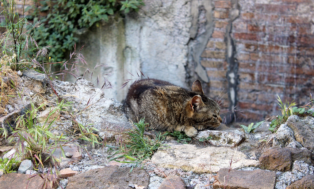 The cats of Largo di Torre Argentina in Rome