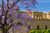 A church bell tower with the Blue Jacaranda tree in Palermo, Sicily, Italy.