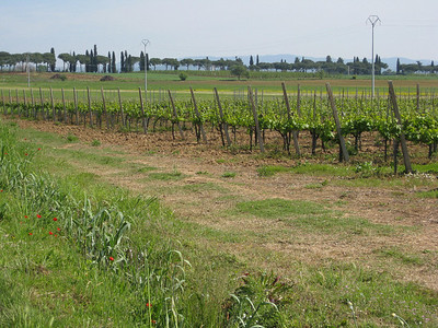 vineyards, wild poppies, roman pines, cypress toscana