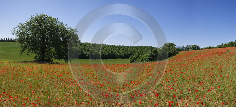 Montepulciano Mohn Papaver Flower Blumen Tuscany Italy Toscana Panoramic River Sea Country Road - 012961 - 17-05-2012 - 9012x4116 Pixel