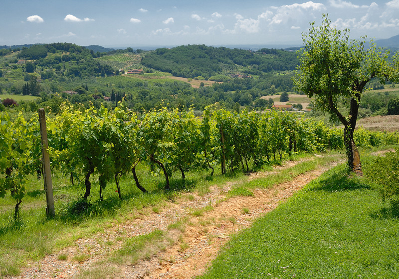 Vineyard Outside of Lucca