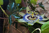 Passion fruit flower grows in an Assisi garden