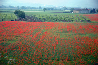 Poppy fields as viewed from the Verona to Venice train.