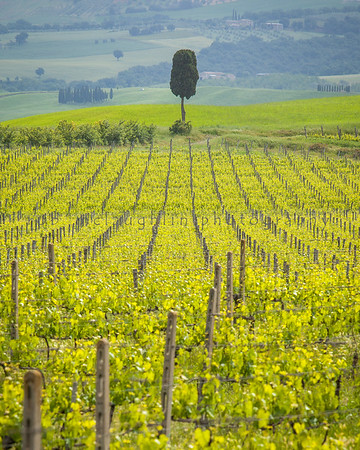 Lone Cypress Tree & Vineyard, Montalcino, Tuscany
