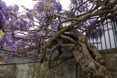 wisteria, Panzano in Chianti, IT