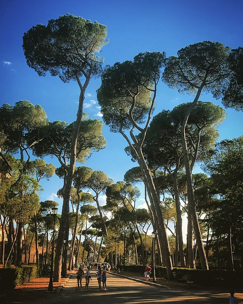 Stone Pine Trees at the Villa Borghese Gardens. 2017.