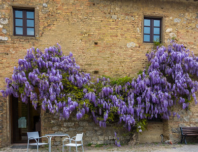 wisteria,  San Gimignano, IT