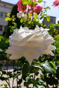 White Roses at Buonconsiglio Castle