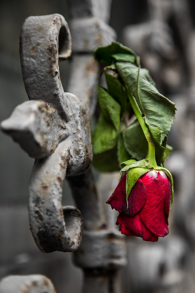 A rose left in a window cage can be very photogenic.