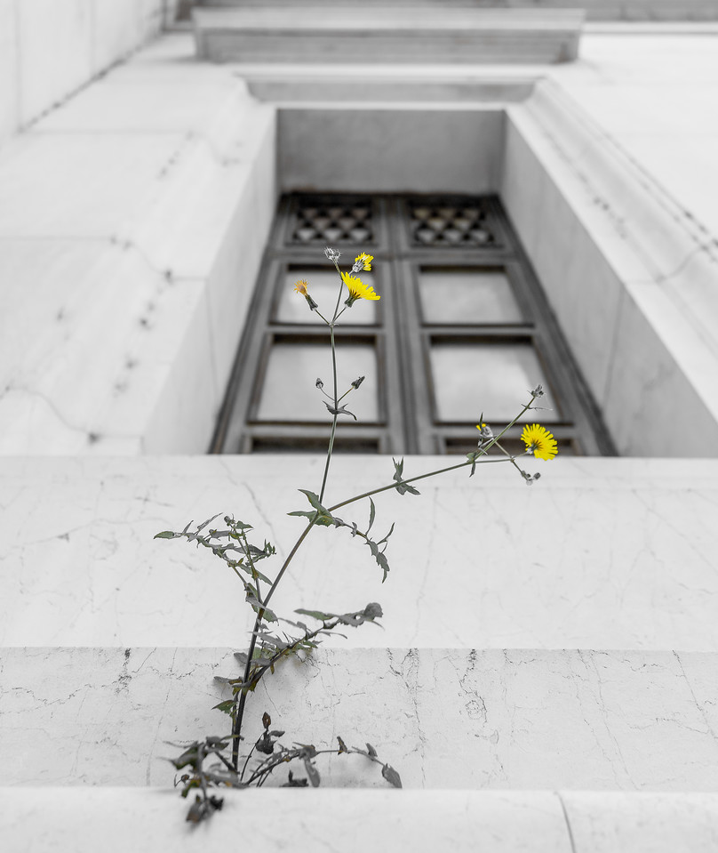 Flower growing out of the marble in Rome, Italy.