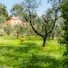Olive Grove – Spring