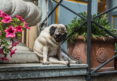 A Pug's Life - Bellagio Italy