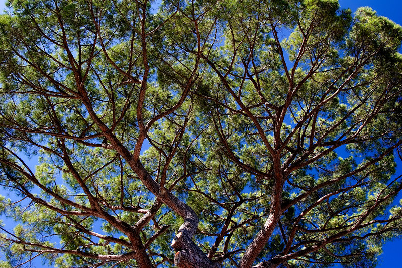 Umbrella Pine (Pinus Pinea)