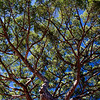 Umbrella Pine (Pinus Pinea)
