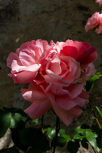 Pink Roses at Buonconsiglio Castle