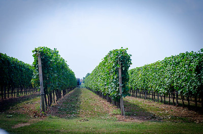 Padua Vineyard Rows