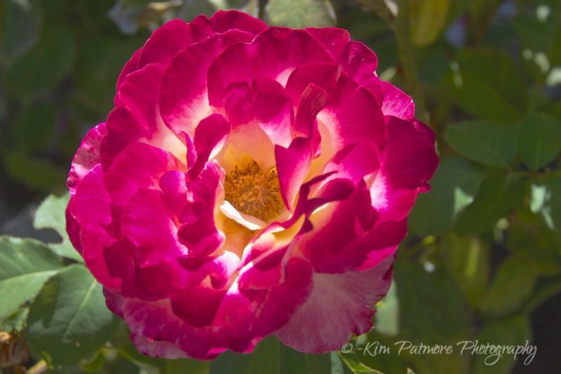 Rose in California Vineyard