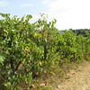 grape vines Monteriggioni