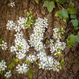 Hawthorn Blossom - Stoke Park Farm
