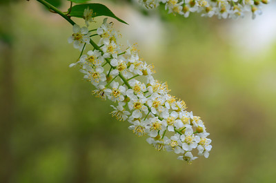 Wild black cherry flowers