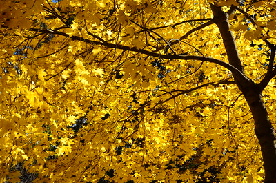 Small maple tree in fall